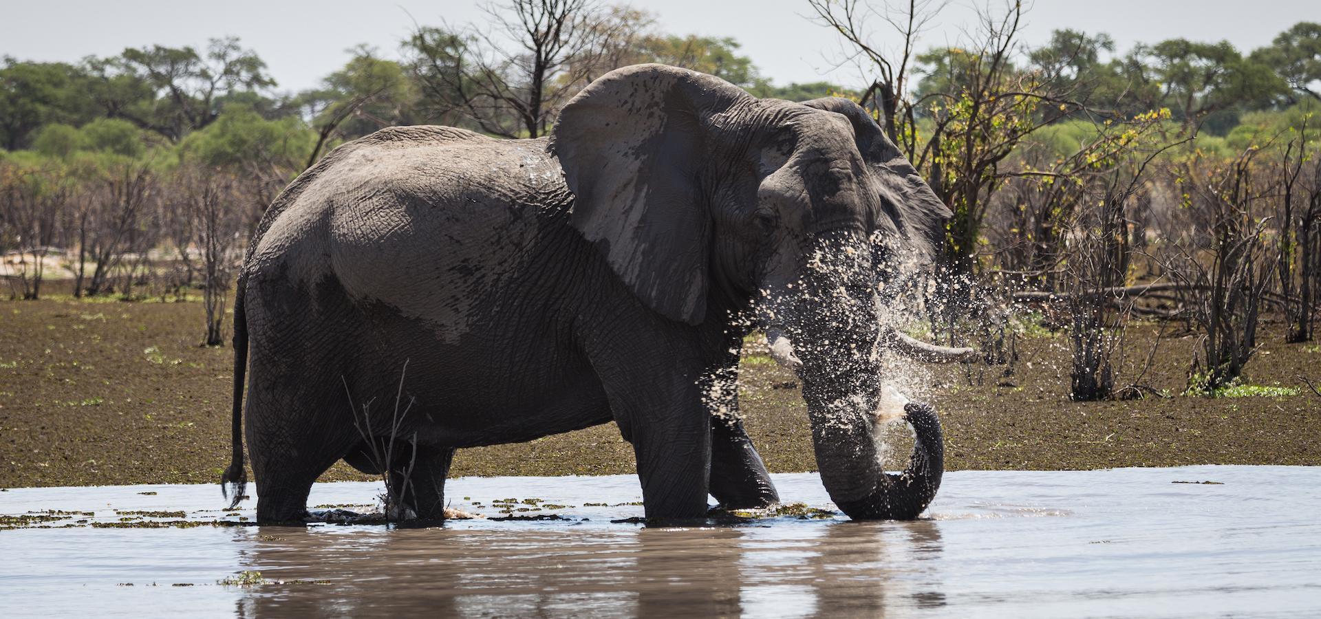 Elefanten Bulle beim Wasserspiel im Okavango Delta während einer Botswana Reise