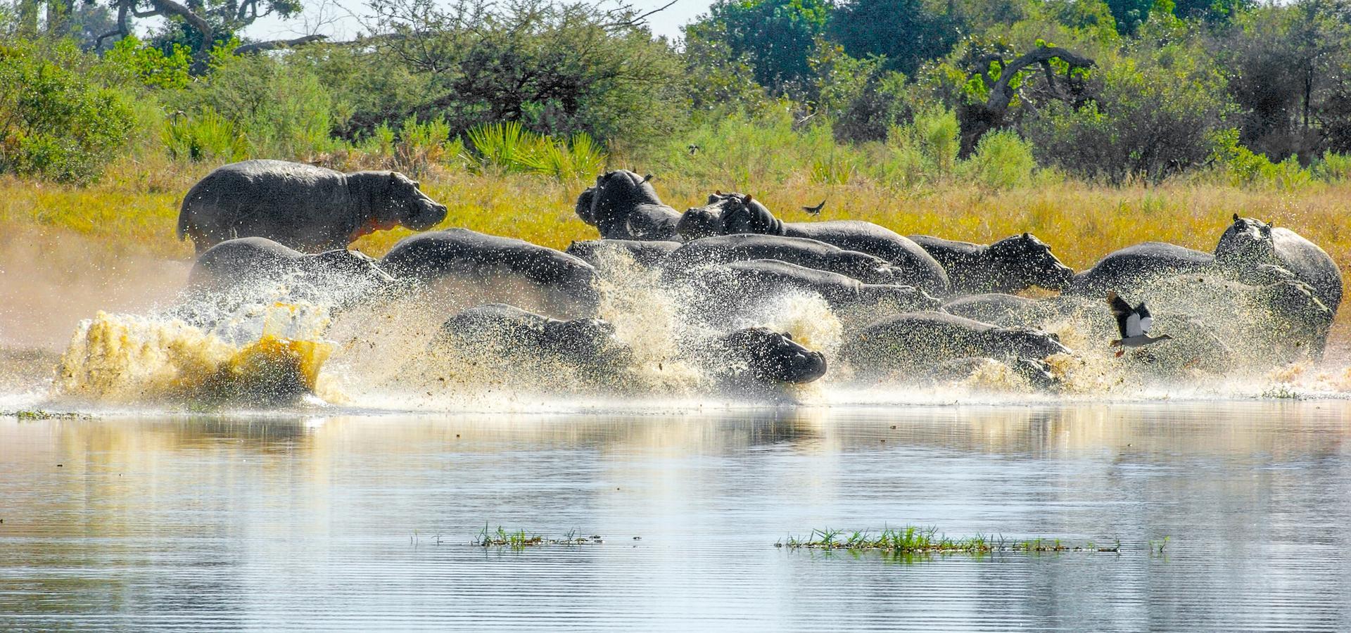 Nilpferde rennen in einen Fluss im Moremi Game Reserve Botswana