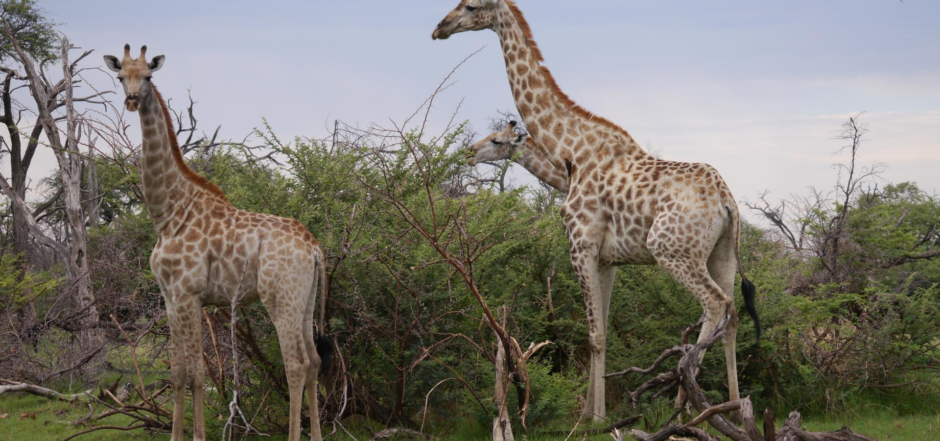 Gehen Sie auf interessante Pirschfahrten im Chobe National Park in Botswana und machen das Großwild ausfindig