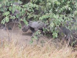 Nashörner im Khama Rhino Sanctuary