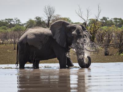 Elefantenbulle im Wasser beim spielen