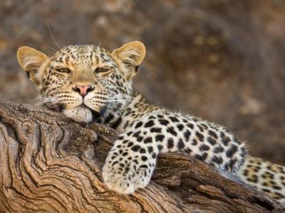 Leopard im Timbavati Private Game Reserve
