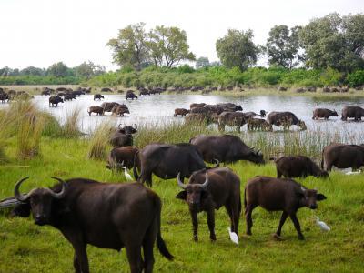 An den Überschwemmungsgebieten des Okavango Flusses in Botswana lassen sich mit etwas Glück riesige Büffelherden beobachten