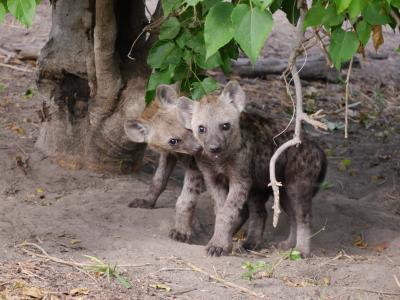 Das Savute Gebiet in Botswana ist bekannt für seine grandiosen Tierbeobachtungsmöglichkeiten