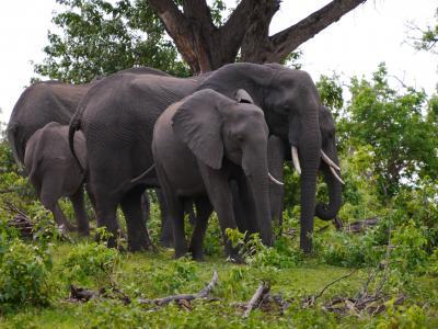 Der Chobe National Park in Botswana ist bekannt für seine riesigen Elefantenherden