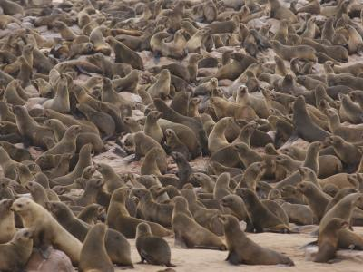 Machen Sie auf dem Weg von Swakopmund ins Damaraland einen Abstecher zu einer der größten Robbenkolonien Afrikas