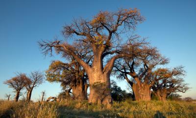 Baines Baobab Nxai Pan Botswana