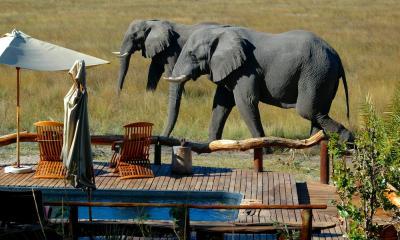 Lodge in Botswana im Okavango Delta: Elefanten laufen entlang des Pools