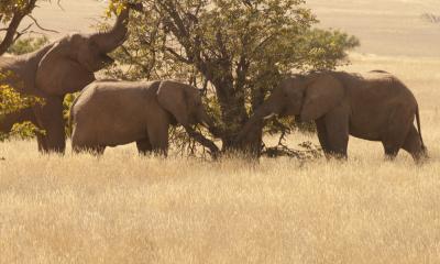 Elefanten Central Kalahari
