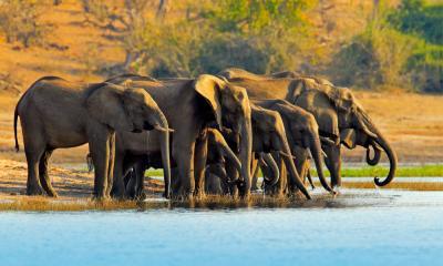 Elefanten Herde im Chobe Nationalpark