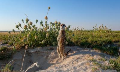 Erdmännchen in der blühenden Kalahari Wüste während der Regenzeit