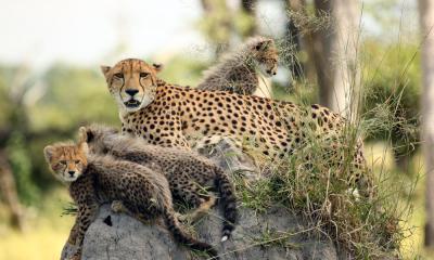 Geparden Mutter mit ihren Jungen auf Chiefs Island in Botswana