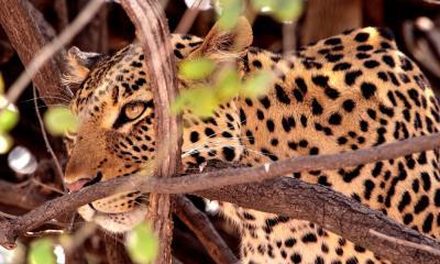 Leopard im Chobe Nationalpark Botswana