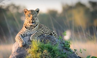 Leopard auf einem Termitenhügel im Okavango Delta