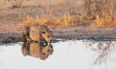 Leopard beim trinken am Wasserloch im Central Kalahari Game Reserve