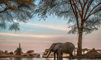 Elefant beim trinken in den Linyanti Sümpfe im Chobe Nationalpark