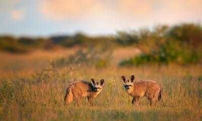 Löffelhunde im Nxai Pan Nationalpark Botswana