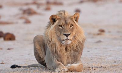 Männlicher Löwe im Nxai Pan Nationalpark Botswana