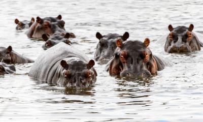 Nilpferde im UNESCO Weltnaturerbe Okavango Delta in Botswana