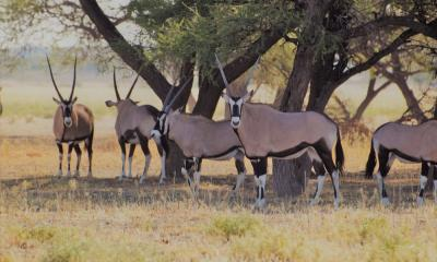 Oryx Anthilopen im Central Kalahari Game Reserve