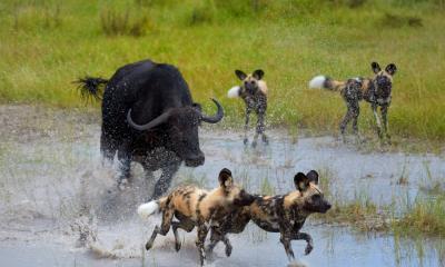 Wildhunde und Büffel jagen sich gegenseitig durch das Okavango Delta