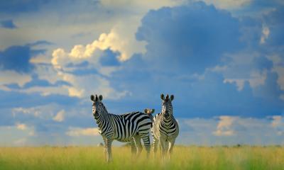 Zebra Nxai Pan Botswana