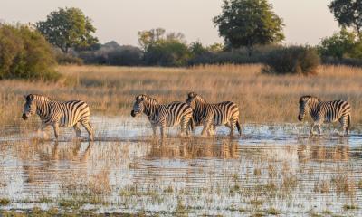 Zebras die das Wasser des Okavango Deltas durchqueren
