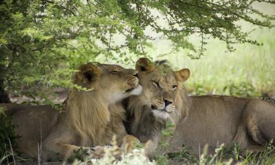 Zwei Löwen unter einem Baum im Moremi Game Reserve Botswana